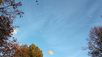 Seeds and yellow maple leaves flying against the blue sky