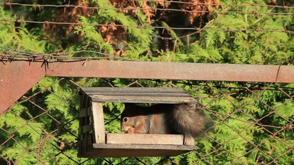 Red Squirrel at the gnaws nuts