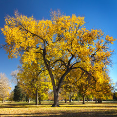 Big Colorful Fall Tree in City Park