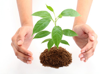 Hands protecting green baby plant on white