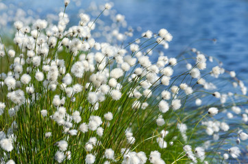 Flowering Cotton Grass on a Background of Water