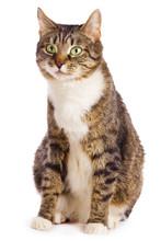 Europäische Katze