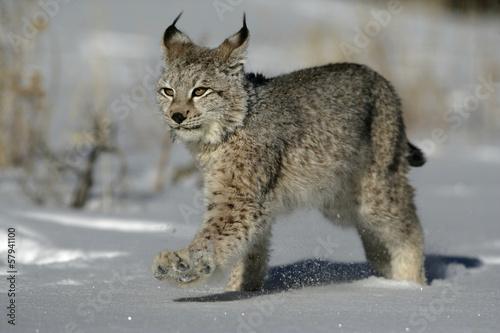 Fotobehang Lynx Siberian lynx, Lynx lynx