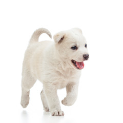 running puppy dog isolated on white