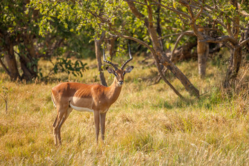 Impala male in reserve of Botswana