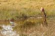 Drinking Impala in reserve of Botswana