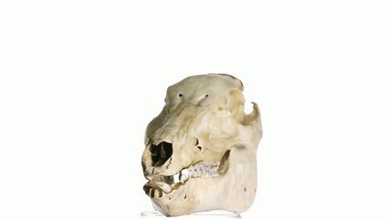 wildboar skull