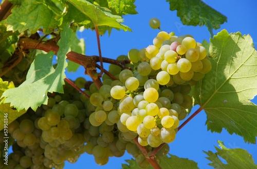Fotobehang Wijngaard Weintraube weiss - grape white 15