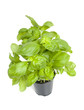 Plant of fresh basil
