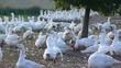 gooses farm 1