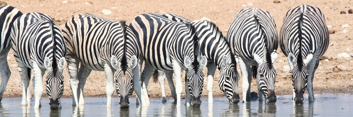 herd of zebras at waterhole