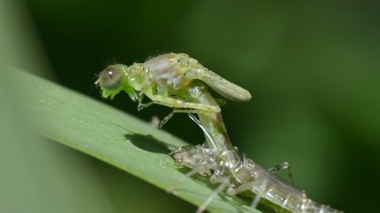 metamorphosis zigoptera