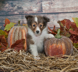 Fall Sheltie Puppy
