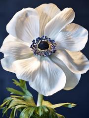 anemone auf metall