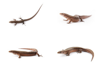 Set of small lizards on white