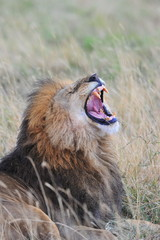 Portrait of a yawning lion