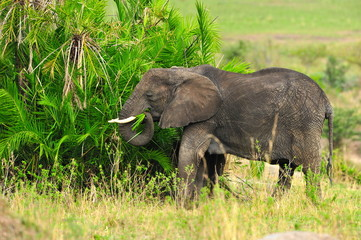 Shot of an African Elephant
