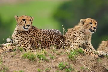 Portrait of a pair of Cheetahs