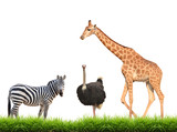 zebra ostrich giraffe with green grass isolated