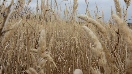 Dry grass on the meadow. Autumn time. HD