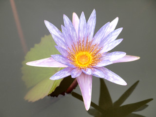 Close up of pink water lily