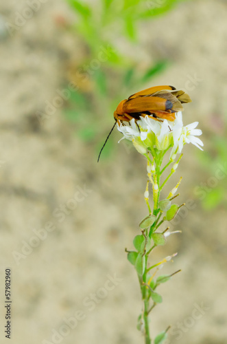 Beetle sits on a flower with half-opened wings