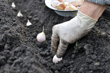 planting the garlic
