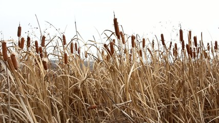 Dry grass reed on the meadow. Autumn time. HD
