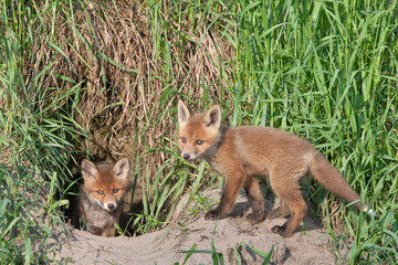 Young foxes playing near the hole. Red fox (Vulpes vulpes).