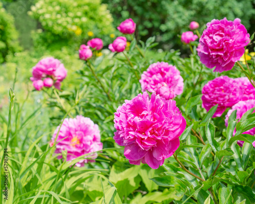 Pink peony flowers in the garden