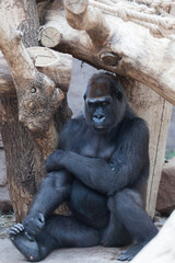 gorilla in the zoo open-air cage