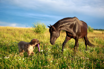 Black horse and briard dog