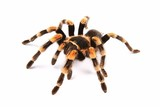 Mexican redknee tarantula (Brachypelma smithi)