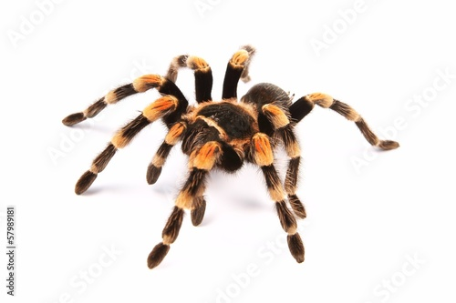 Leinwanddruck Bild Mexican redknee tarantula (Brachypelma smithi)