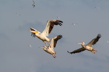 flock of three pelicans flying
