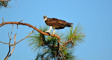Osprey in the wild