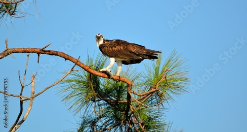 Osprey in the wild