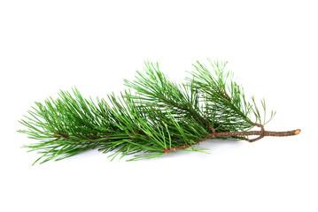 Pine tree twig