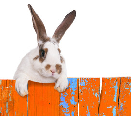 Funny bunny peeking out from behind the fence.