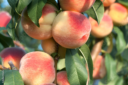 Papiers peints Arbre Peaches on the tree branches