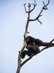 white-handed gibbon on tree