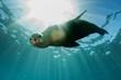 Leinwandbild Motiv sea lion underwater looking at you