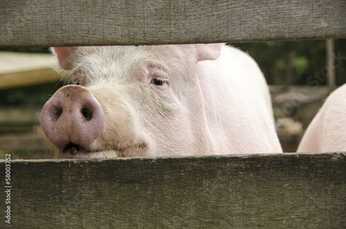 Curious pig looking through fence