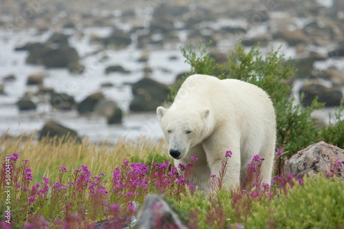 Tired Polar Bear in the grass