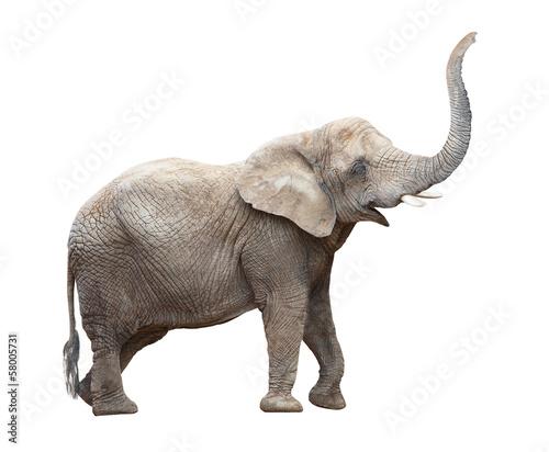 African elephant (Loxodonta africana) female.