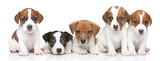 Jack Russel terrier puppies. Group portrait