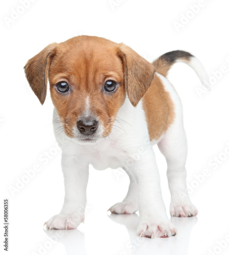Jack Russell dog puppy portrait