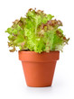 Lettuce in a pot