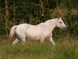 Grey Pony In Paddock