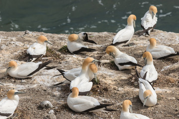 gannets building nests on cliffs